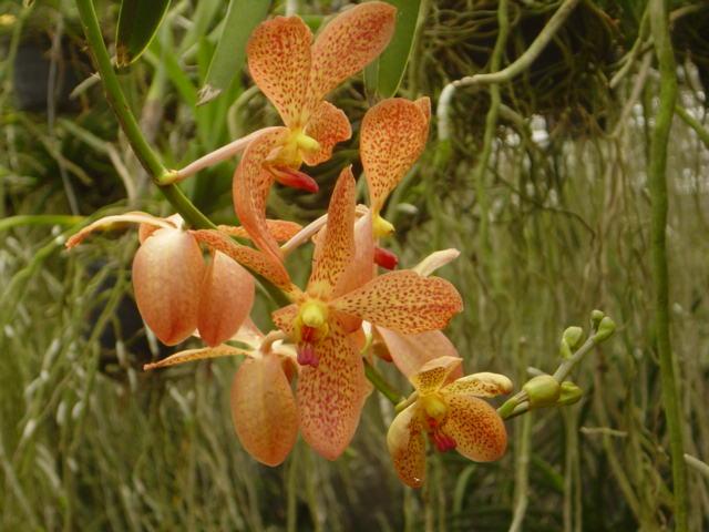 ORQUIDEA MOKARA, Cuidado de orquideas, decoracion con orquideas