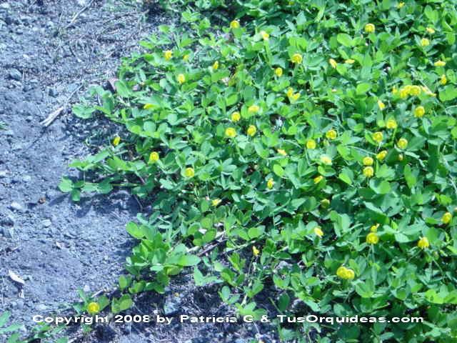 Plantas de Jardín: Cómo Arreglar Tu Jardín Con Maní Forrajero