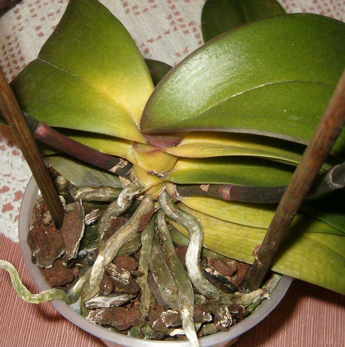 Orquideas amarillas cuidados for Cuidado de las orquideas moradas