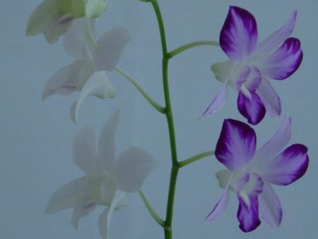 Orquideas. Flores Extrañas de Orquideas Dendrobium